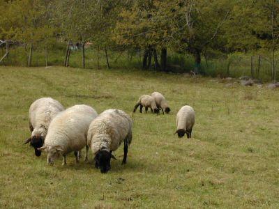 Grazing_sheep